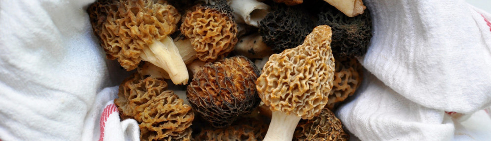 Morel Mushrooms… In Our Yard!